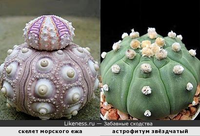 Скелет морского ежа похож на кактус