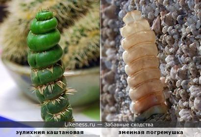 Эулихния каштановая спиральная похожа на погремушку гремучей змеи...