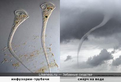 Инфузория стентор (трубач) под микроскопом напоминает торнадо