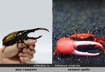 Целый жук-геркулес похож на клешню краба