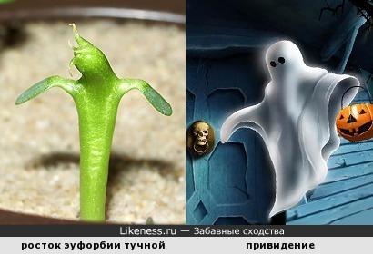 Эуфорбия: призраки тоже толстеют