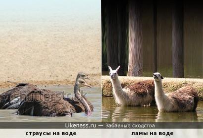 Ламы, вошедшие в воду, похожи на страусов