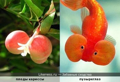 """Ветвь кариссы с плодами напомнила """"щекастую"""