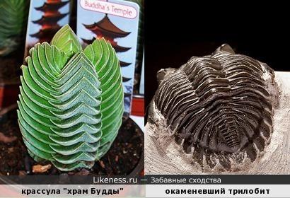 Окаменевший трилобит напоминает растение