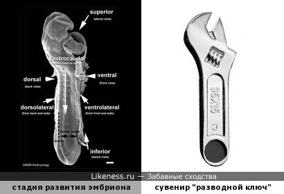 11-я стадия развития эмбриона по Карнеги напоминает разводной ключ
