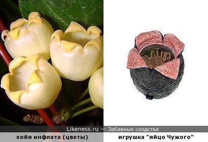 Ни хойя себе цветочки!))