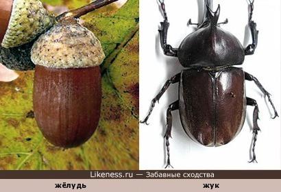 Жёлудь и жук