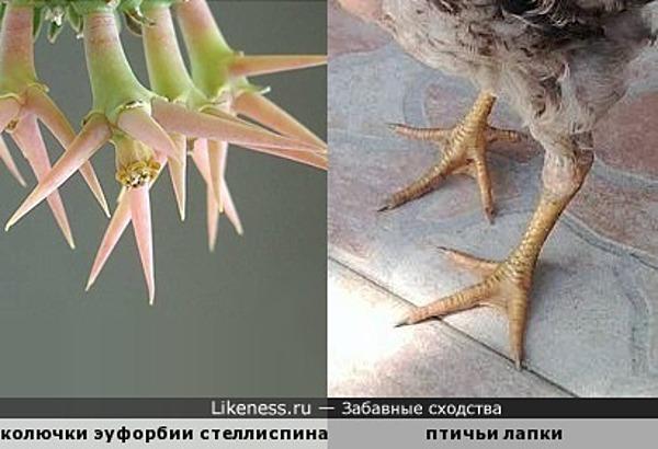 Колючки эуфорбии звёздчатоколючковой(!) похожи на птичьи лапки