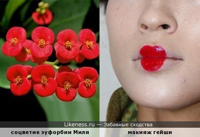 Цветущая эуфорбия Миля похожа на гейшин макияж...