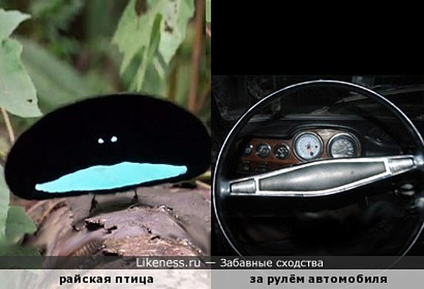 Райская птица за рулём автомобиля