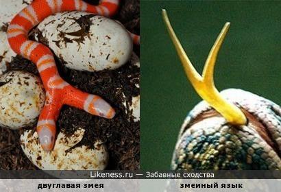 Двуглавая змея похожа на... свои языки! =)