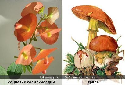 """Холмскиолдия цветёт """"грибами"""""""