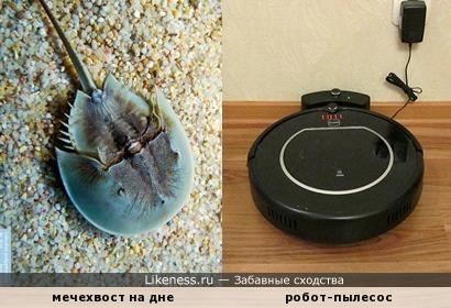"""Чистоплотный мечехвост – дна морского """"пылесос""""..."""