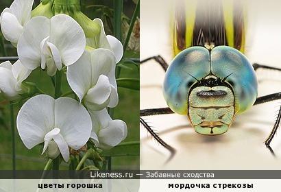 На букет цветочков этих в огороде стрекоза, сходство формы заприметив, всё таращила глаза...