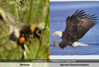 Шмель, подлетающий к цветку, похож на орлана белоголового, атакующего рыбу
