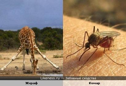 Жираф на водопое напоминает комара, сосущего кровь