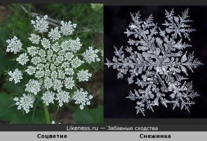 Соцветие моркови напомнило снежинку