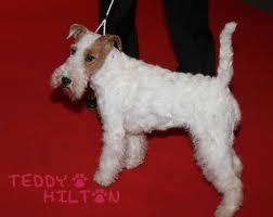 собака тинтина