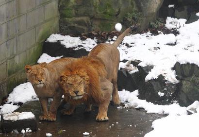 Лев и львица уворачиваются от снежков, которые кидают посетители зоопарка в Ханчжоу, Китай