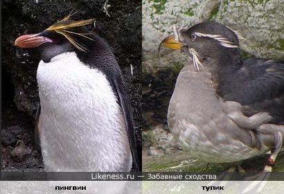 Пингвин и тупик совершенно разные птицы, но очень похожие.
