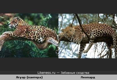 найди отличия. Ягуар и леопард.