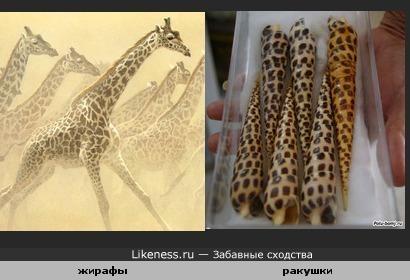 Жирафы похожи на ракушки.