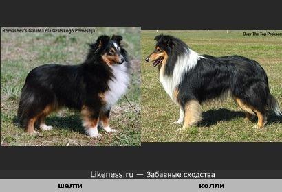 На первый взгляд-колли и шелти собаки одинаковые, но они разные как по размерам, так и по происхождению и по характеру.