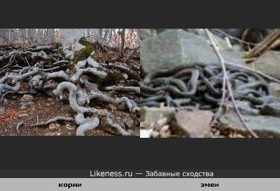 Корни дерева похожи на клубок змей