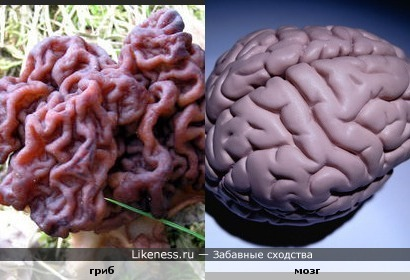 Чем больше бороздок и извилин, тем умнее человек. Насколько этот грибок выглядит интеллектуальней любого из нас.