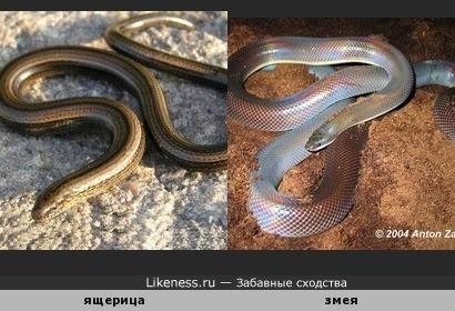 Безногая ящерица веретенница похожа на змею.