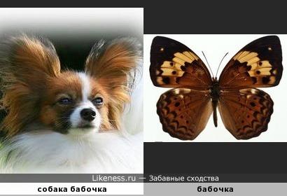 Если собака бабочка будет махать ушами, то она полетит?