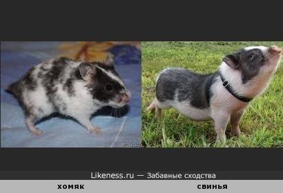 Хомяк-свинья.