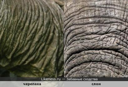 Можно ли перепутать черепаху со слоном?
