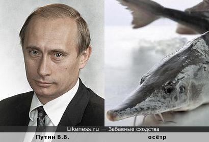 Путин не похож на осетра, но почему он мечет икру?
