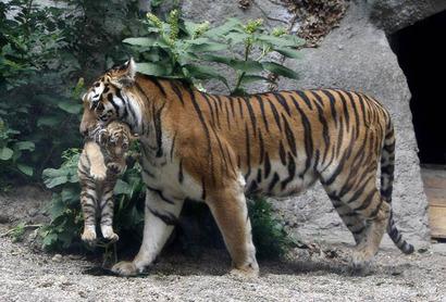 Тигрица несет тигренка