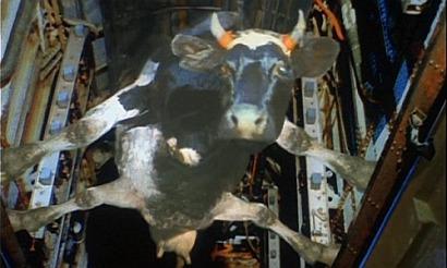Особенности национальной охоты, корова в бомболюке