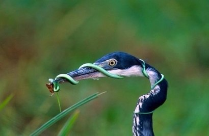 Цапля и змея