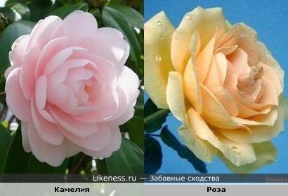 Цветок камелии напоминает цветок розы