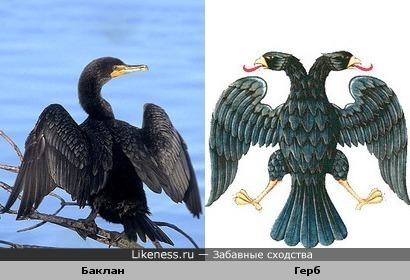 Баклан напоминает российский герб
