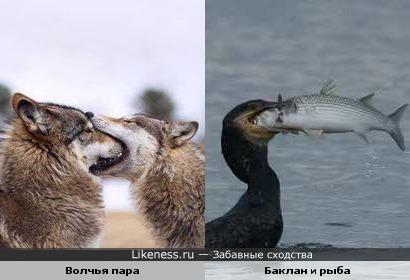Волчья любовь похожа на любовь баклана к рыбалке