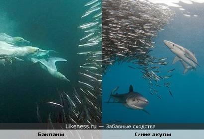 Бакланы напоминают синих акул