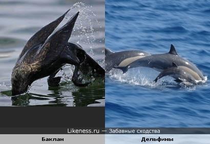 Баклан подражает дельфинам