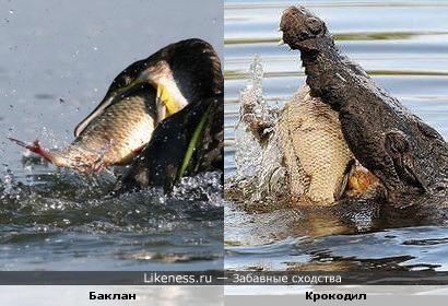 Баклан на рыбалке напоминает крокодила