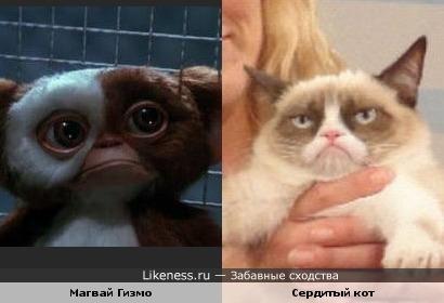 Сердитый кот напомнил гремлина Гизмо