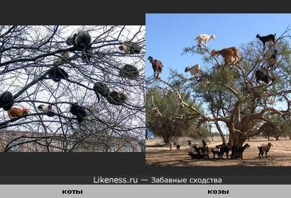 коты и козы на деревьях