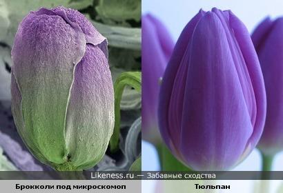 Брокколи под микроскомоп и тюльпан