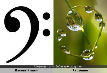 Растение напоминает Басовый ключ