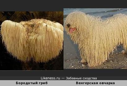 Бородатый гриб и Венгерская овчарка