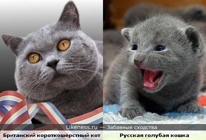 Британский короткошёрстный кот похож на русскую голубую кошку