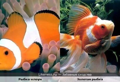 Рыбка-клоун похожа на золотую рыбку